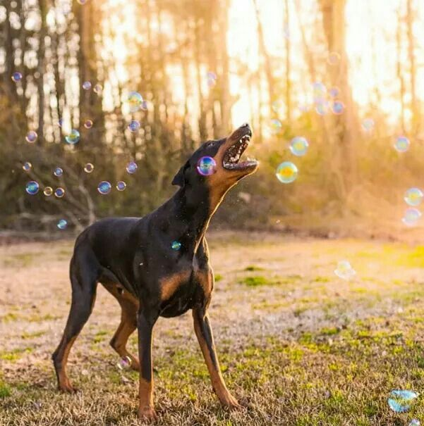 Top 7 Guard Dog Breeds in India  - Pet Store Franchise