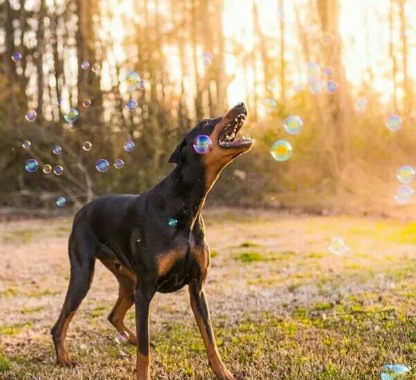 Top 7 Guard Dog Breeds In India Pet Store Franchise Online Pet Shop Mad About Dogs